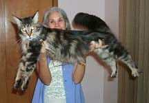 How much do purebred maine coons cost